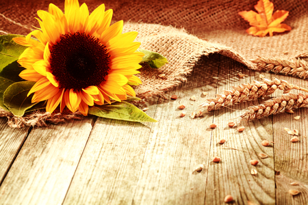 Rustic background with a bright colorful yellow sunflower and ripe golden ears of wheat on textured burlap fabric on old wooden boards with copyspace photo