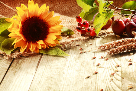 Colorful rustic Thanksgiving background with a vibrant yellow sunflower, ears of ripe wheat, rose hips and berries on a wooden table with copyspace