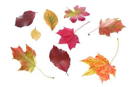 scattered: Selection of individual autumn leaves in various shapes and bright colors marking the changing of the seasons isolated on white Stock Photo