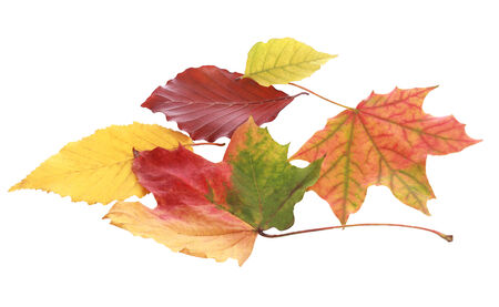Still Life of Various Colorful Autumn Leaves on White Background photo