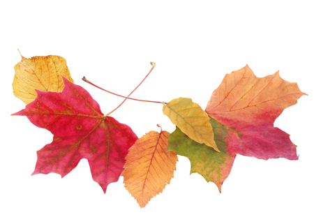autmn: Fanned arrangement of beautiful colorful autmn or fall leaves in a variety of shapes and colors isolated on white with copyspace