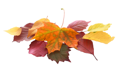 changing seasons: Pile of colorful autumn and fall leaves from a variety of trees in golden yellow, orange, purple, brown and red showing the changing seasons and life cycle of the leaves, isolated on white Stock Photo