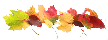 Horizontal banner of colorful autumn or fall leaves of diverse colors and shapes showing the changing seasons arranged in a decorative row isolated on white Stock Photo