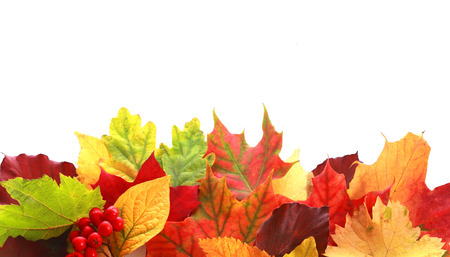 Colorful selection of a variety of autumn leaves in different shapes and colors forming a border over white copyspace for your text or Thanksgiving message with a sprig of red fall berries
