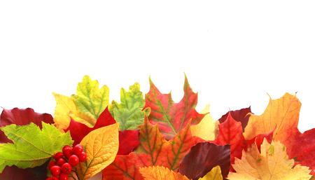 hojas de colores: Selecci�n de colores de una variedad de hojas de oto�o en diferentes formas y colores que forman una frontera m�s de blanco copyspace para su texto o mensaje de Acci�n de Gracias con una ramita de bayas rojas de oto�o Foto de archivo