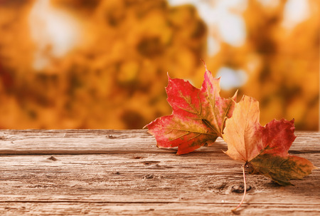 changing seasons: Two red and orange autumn leaves on a rustic table outdoors showing the changing colors with the changing seasons against a backdrop of a fall garden with golden orange foliage, with copyspace