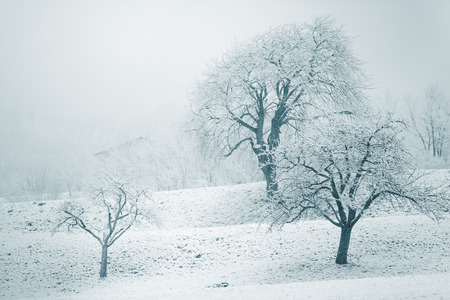 blanketed: Snowy winter landscape with leafless deciduous trees with their bare branches covered in fresh white snow standing in a cold misty field with copyspace