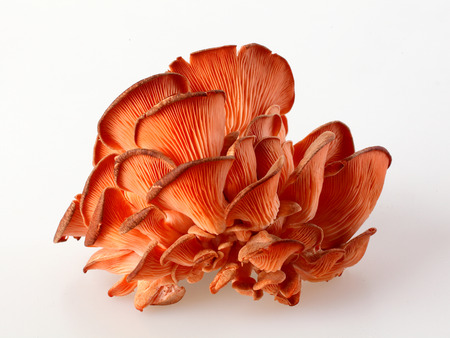 Cluster of fresh autumn red oyster mushrooms, Pleurotus, for use as a cooking ingredient in healthy seasonal regional cuisine, over white Фото со стока