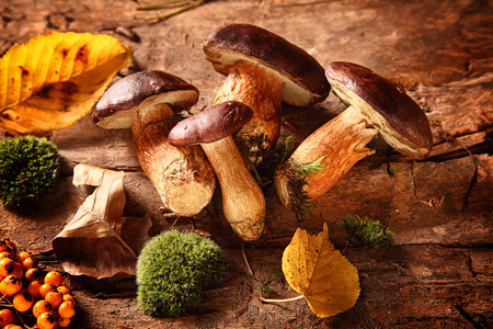 Healthy autumn harvest of fresh woodland fungi with boletus mushrooms and rose hips with moss and colorful fall leaves on a rustic wooden background for seasonal cuisine