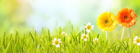 Bunte neue Panorama-Frühling Banner mit orangefarbenen und gelben Blumen und weißen Podien in neue grüne Gras in einem Garten oder auf der Wiese mit Kopie Raum über einem unscharfen Hintergrund der Natur