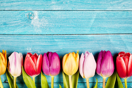 Colorful fresh tulips aligned on a rustic wooden surface made of horizontal boards painted with blue Stockfoto