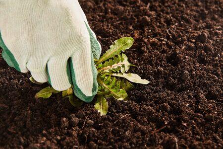 Sluit omhoog mening over niet-identificeerbaar tuinman doek en rubberen handschoen omhoog te trekken enkele brede blad onkruid uit patch van kale tuingrond