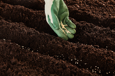 seeding: Gardener seeding seeds at the start of spring into a prepared flowerbed with furrows in rich fertile soil, close up of the gloved hand
