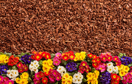 Row of yellow, white, red, pink and purple primrose flowers and brown bark mulch background with copy space