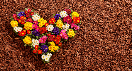 bark mulch: Yellow, white, red, purple and pink primrose seedling plants formed as colorful valentine heart over wood chip background with copy space