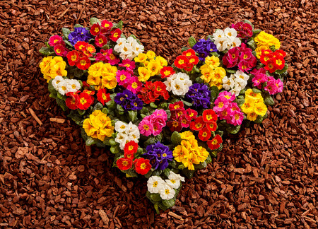 bark mulch: Yellow, white, red, purple and pink primrose seedling plants formed as colorful valentine heart over wood chip background