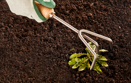 weeds: Gardener weeding a flowerbed with a small metal tined rake in a close up view of a gloved hand over fertile soil