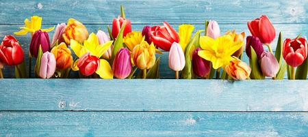 Bunte Anordnung der frischen Frühlingsblumen mit Tulpen und Narzissen symbolisch für die Saison in einem Spalt zwischen rustikalen blauen Holzbretter mit Kopie Raum, Panorama-Banner oder Weitwinkel-Format