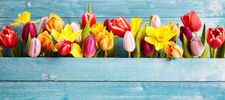 Colorful arrangement of fresh spring flowers with tulips and narcissus symbolic of the season in a gap between rustic blue wooden boards with copy space, panoramic banner or wide angle format Stockfoto