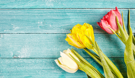 Fresh spring tulips background with copy space with three tulips in white, yellow and red, arranged in the corner on rustic pale blue green wooden boards
