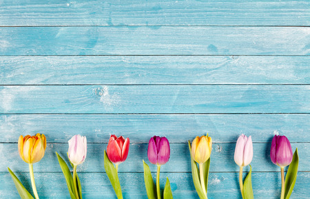 card board: Border of fresh multicolored spring tulips arranged in a row on rustic blue wooden boards with copy space, symbolic of the spring season Stock Photo