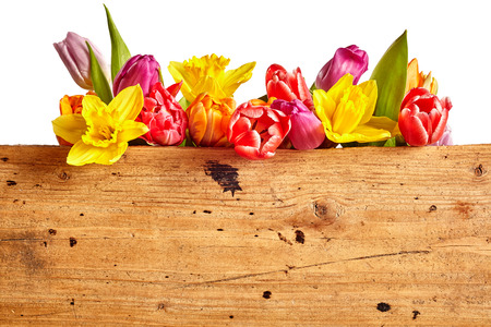 Border of vivid brightly colored spring flowers with daffodils and tulips arranged in a row on white above a rustic wooden panel with copy space