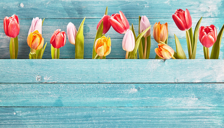 Still life border of colorful fresh spring tulips arranged as a row between two blue-green rustic wooden panels with copy space below