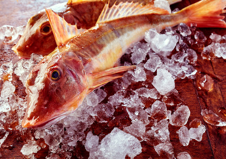 robins: Two fresh whole uncooked gurnard or sea robins on ice in a close up view on the head and eye of one fish ready preparing for cooking Stock Photo