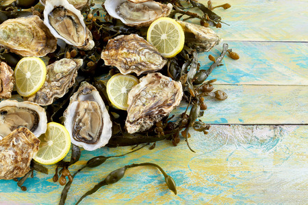 shucked: Fresh marine oyster and seaweed still life with shucked opened raw oysters and sliced lemon on a bed of seaweed on rustic weathered blue wooden boards with copy space