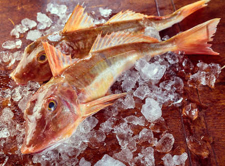 robins: Two fresh oceanic gurnard or sea robins on ice, a Mediterranean Triglidae fish excellent for eating