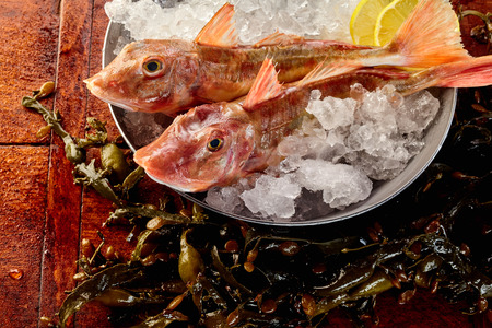 bony: Close up on pair of whole bony raw red gurnard fish on ice ready with lemon slices in bowl to be prepared for eating