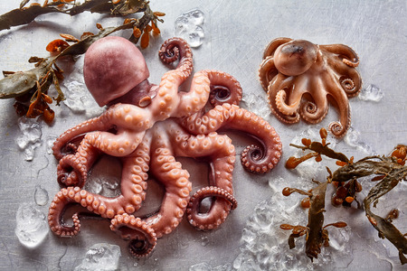 High Angle Still Life View of Raw Octopus of Various Sizes on Gray Background with Kelp Seaweed and Melting Ice