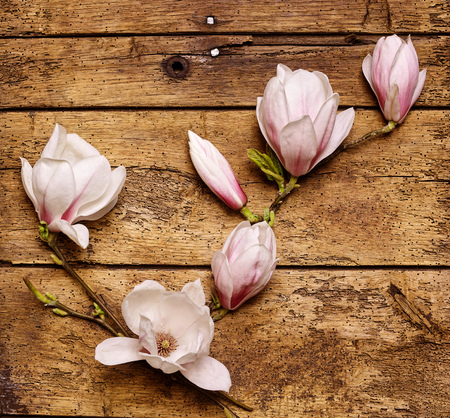 dainty: Spray of dainty fresh pink magnolias arranged on a rustic wooden background in a diagonal line, square format overhead view