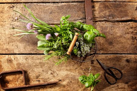 potherbs: Rustic wire basket filled with an assorted variety of fresh potherbs for culinary use with a pair of snip scissors on an old rustic wooden kitchen table, viewed from above with copy space Stock Photo