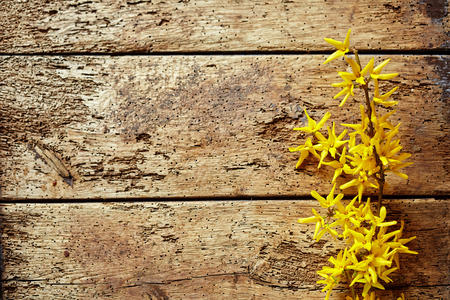 Bright yellow forsythia spring border with a spray of dainty colorful flowers on old rotting worm ridden wood with copy space Stock Photo