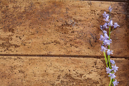Pretty delicate spring border of fresh bluebells arranged to the side of textured wormy old vintage wood with copy space
