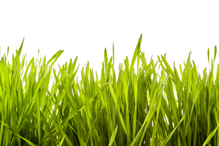 Background texture of lush green spring grass viewed low angle from the side isolated on white with copy space conceptual of Easter, the seasons, ecology and spa treatments Imagens