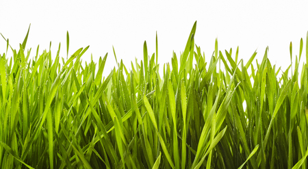 Background texture of healthy lush fresh green grass viewed from the side isolated on white conceptual of the spring season, ecology and a spa
