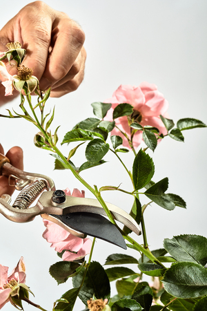 Man trimming back a pink rose bush in his garden using a pair of pruning shears to cut off a spray of dead flowers over a white wall background with copy space
