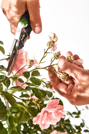Man pruning a rose bush with shears removing dead heads or hips from the bush during summer in a close up isolated view with copy space