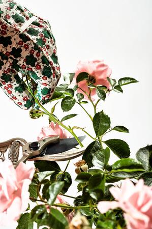 장갑 된 손 및 secateurs 또는 흰색 배경 위에 절연 가위의 뷰를 닫습니다 부시에 정원사 절단 또는 가지 치기 장미 스톡 콘텐츠