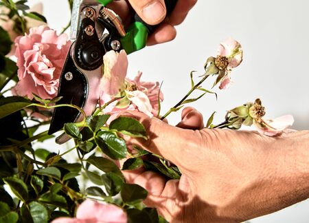 Man caring for a rose bush in his garden trimming off dead flowers with pruning shears during summer in a close up view of his hands and the tool against a white wall Stock Photo