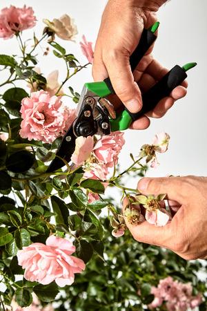 여름 동안 장미 부시 돌보는 정원사 화이트 위로 볼 가까이보기에 전정 가위와 지출 또는 죽은 꽃의 스프레이 해제 트리밍 스톡 콘텐츠