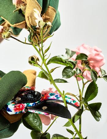 정원사 가위 또는 가위를 사용 하여 보냈다 또는 죽은 꽃의 스프레이 제거 여름에 장미 부시 다시보기 잘라내는 정원사 스톡 콘텐츠