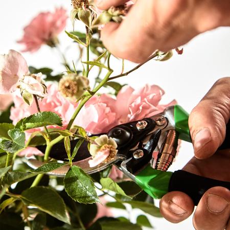 Man snoeien een roze rozenstruik in zijn tuin tijdens de zomer voorzichtig afknippen van een groene stengel met dode bloemen met behulp van snoeischaren in een close-up beeld van de tool en de hand Stockfoto