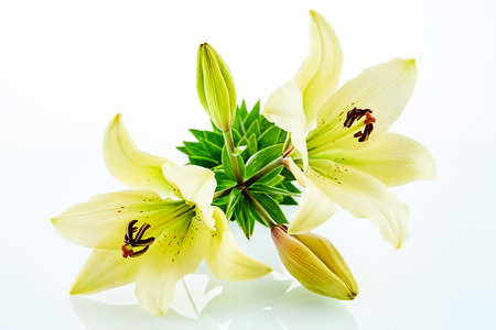 Cluster of beautiful yellow open and closed lily flowers over white reflective background