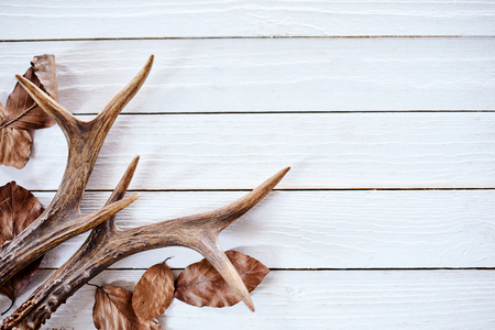 コピー スペースと素朴な白い木造の背景に落ちた茶色冬クワガタの角のペアを残します。