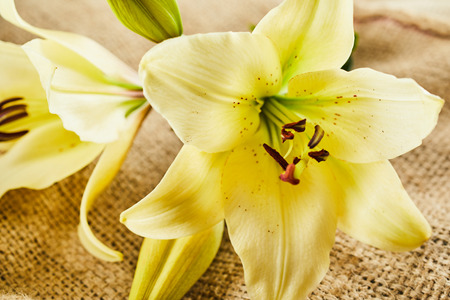 Close up on yellow and creme colored daylily flower bloom over burlap textured background Stock Photo - 83301178