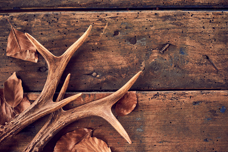 A pair of stag antlers with fallen brown winter leaves on an old, rustic wood plank background. Фото со стока - 83301343
