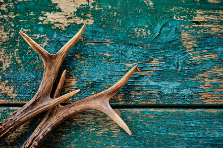 A pair of stag antlers on a rustic, vintage timber background with flaking blue paint.